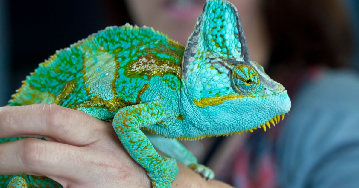 Reptiles As Pets Camouflage Complex Behaviour And Family Life World Animal Protection